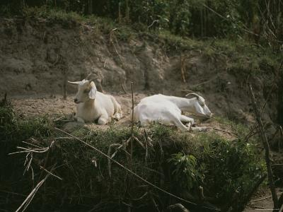 Two White Goats at Rest-Medford Taylor-Photographic Print