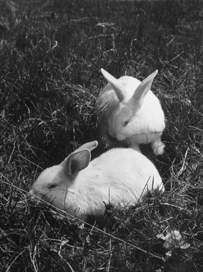 Two White Rabbits Nestled in Grass, at White Horse Ranch-William C^ Shrout-Photographic Print