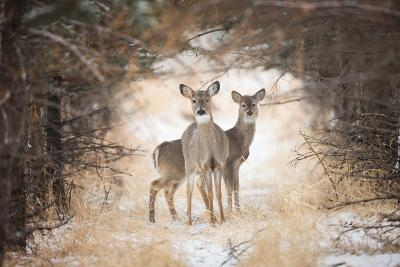 Two White-Tailed Deer, Odocoileus Virginianus, in a Snowy Clearing-Robbie George-Photographic Print