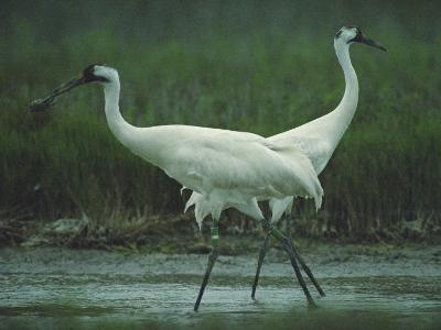 Two Whooping Cranes at the Refuge-Joel Sartore-Photographic Print