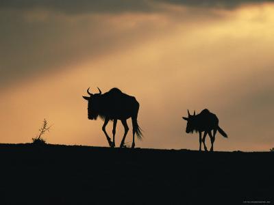 Two Wildebeest, at Sunset, Kenya-Terry Andrewartha-Photographic Print