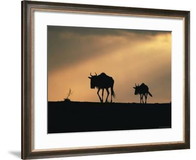 Two Wildebeest, at Sunset, Kenya-Terry Andrewartha-Framed Photographic Print