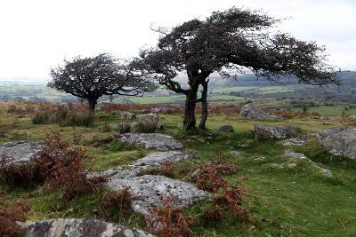 Two Windswept Trees, Near Hexworthy, Dartmoor, Devon, England, United Kingdom, Europe-David Lomax-Photographic Print