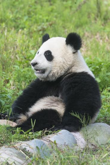 Two Year Old Young Giant Panda (Ailuropoda Melanoleuca), Chengdu, Sichuan, China, Asia-G&M Therin-Weise-Photographic Print