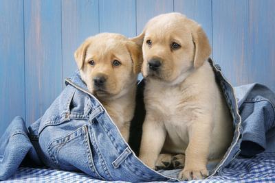 https://imgc.artprintimages.com/img/print/two-yellow-labrador-puppies-in-jeans_u-l-q106exr0.jpg?p=0