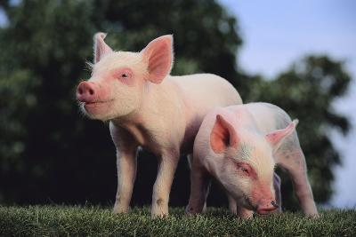Two Yorkshire Pigs-DLILLC-Photographic Print