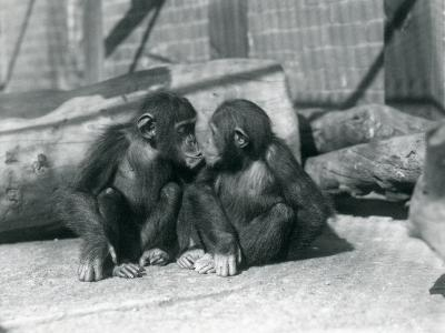 Two Young Chimpanzees, Boo Boo and Bibi, Kiss. London Zoo, September 1927-Frederick William Bond-Giclee Print