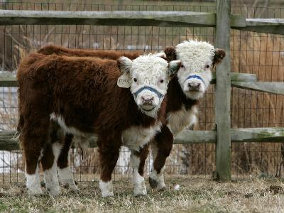 Two Young Cows Graze--Photographic Print
