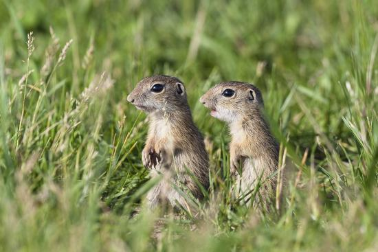 Two Young European Sousliks (Spermophilus Citellus) Alert, Eastern Slovakia, Europe, June 2009-Wothe-Photographic Print