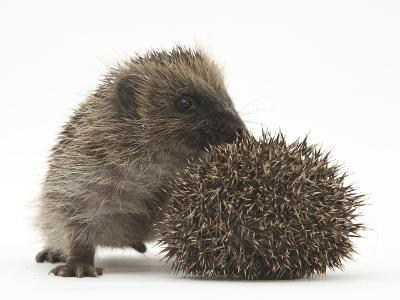 Two Young Hedgehogs (Erinaceus Europaeus) One Standing, One Rolled into a Ball-Mark Taylor-Photographic Print