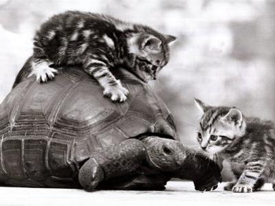 Two Young Kittens Playing with a Slow Moving Giant Tortoise, 1983