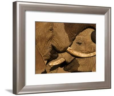 Two young male elephants scuffle in Samburu National Reserve.-Michael Nichols-Framed Photographic Print