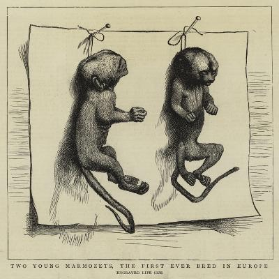 Two Young Marmozets, the First Ever Bred in Europe--Giclee Print