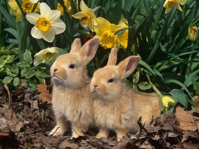 Two Young Palamino Domestic Rabbits, USA-Lynn M^ Stone-Photographic Print