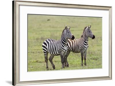 Two Zebras Stand Side by Side, Alert, Ngorongoro, Tanzania-James Heupel-Framed Photographic Print