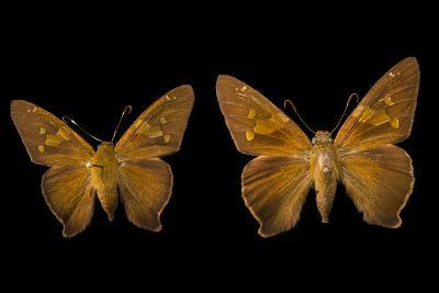 Two Zesto's Skippers on Pins at the Mcguire Center for Lepidoptera and Biodiversity-Joel Sartore-Photographic Print
