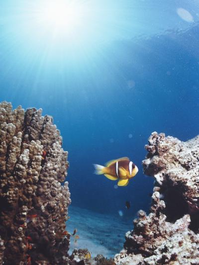 Twoband Anemonefish-Peter Scoones-Photographic Print