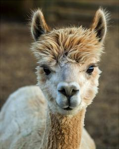Alpaca Portrait V by Tyler Stockton