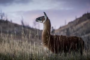 Llama Portrait I by Tyler Stockton