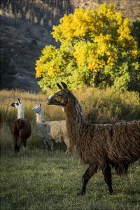 Llama Portrait III by Tyler Stockton