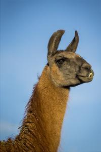 Llama Portrait IV by Tyler Stockton