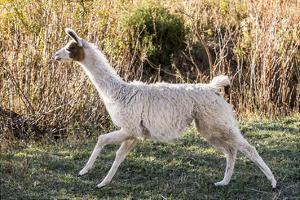 Llama Portrait IX by Tyler Stockton