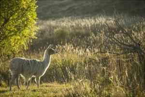 Llama Portrait V by Tyler Stockton
