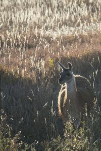 Llama Portrait VII by Tyler Stockton