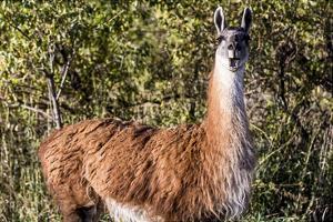 Llama Portrait VIII by Tyler Stockton