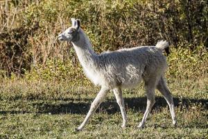 Llama Portrait X by Tyler Stockton