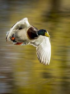 Mallard Flight I by Tyler Stockton