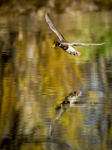 Mallard Flight II by Tyler Stockton