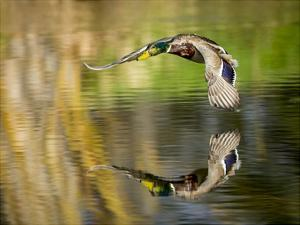 Mallard Flight III by Tyler Stockton