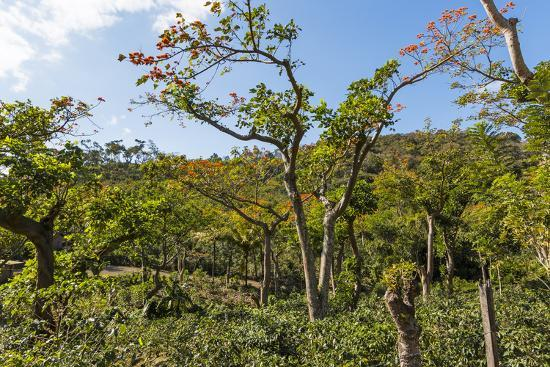 Typical Flowering Shade Tree Arabica Coffee Plantation in Highlands En Route to Jinotega-Rob Francis-Photographic Print