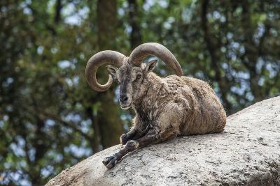 Typical Goat of Northern India Rests on a Rock in the Sun in a Wildlife Reserve, Darjeeling, India-Roberto Moiola-Photographic Print