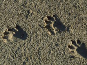 Raccoon Tracks on Newly Dredged Mud of Wetlands Restoration Project by Tyrone Turner