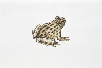 Tyrrhenian Painted Frog (Discoglossus Sardus)--Giclee Print