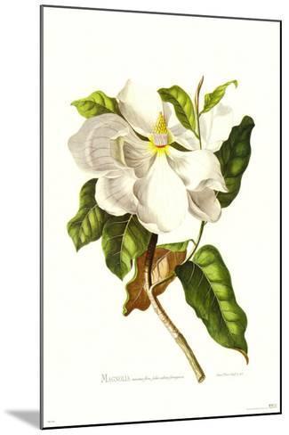 Magnolia Maxime Flore-Georg Dionysius Ehret-Mounted Art Print