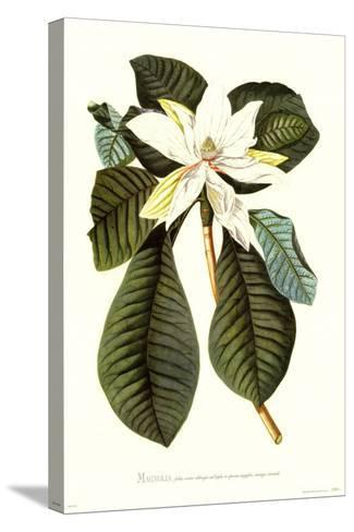 Magnolia Folis Oblongis-Georg Dionysius Ehret-Stretched Canvas Print