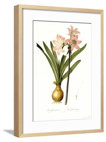 Amaryllis Belladonna-Pierre-Joseph Redout?-Framed Art Print