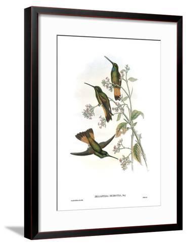 Helianthea Dichroura, Hummingbirds-John Gould-Framed Art Print
