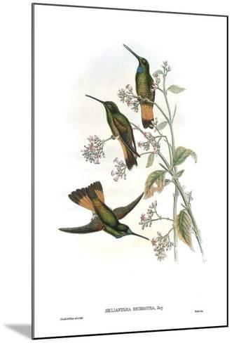 Helianthea Dichroura, Hummingbirds-John Gould-Mounted Art Print