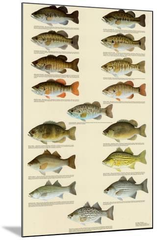 Freshwater Bass of North America--Mounted Art Print