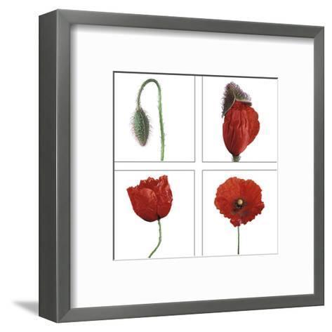 Metamorphosis of the poppy- Nuridsany & Perennou-Framed Art Print