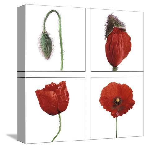 Metamorphosis of the poppy- Nuridsany & Perennou-Stretched Canvas Print