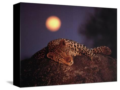 Leopard with Rising Moon- Thom-Stretched Canvas Print