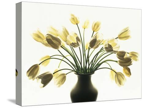 White Tulips-Kevin Summers-Stretched Canvas Print