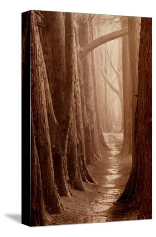 Cypress Trail-Paul Kozal-Stretched Canvas Print