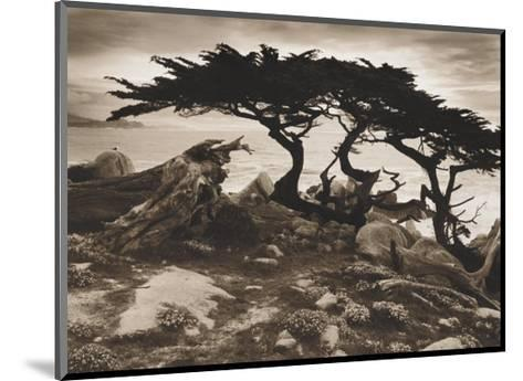 Monterey Cypress-Paul Kozal-Mounted Art Print