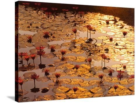 Lotus Pond-Bruno Baumann-Stretched Canvas Print